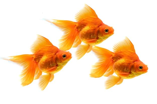 Pesce d'oro di bellezza isolato su sfondo bianco
