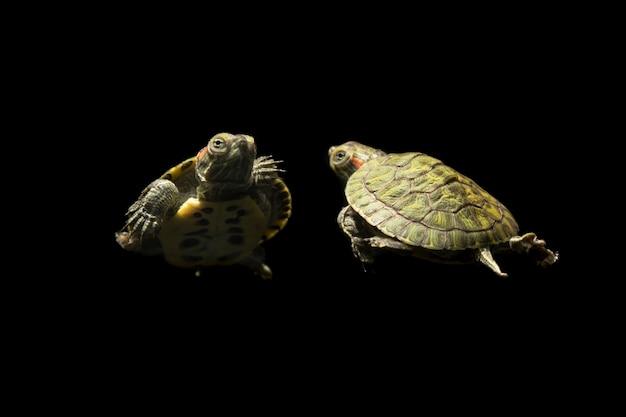 Ritratto di bellezza di una tartaruga su sfondo nero