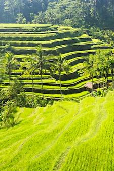 Terrazza del riso di bellezza