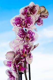 La bellezza di un'orchidea bianca e viola in piena fioritura. phalaenopsis orchid fiore su uno sfondo di cielo blu. le orchidee sono la regina dei fiori in thailandia.