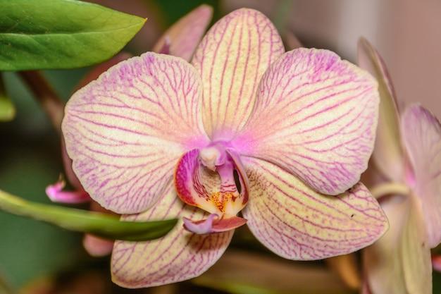 La bellezza di un'orchidea bianca e viola in piena fioritura. il fiore di orchidea phalaenopsis è la regina dei fiori in thailandia.