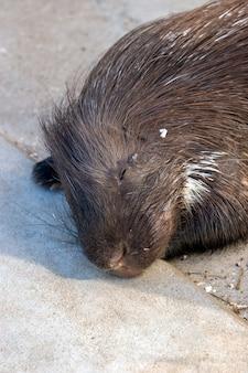 Beaver si trova e dorme sul pavimento di cemento