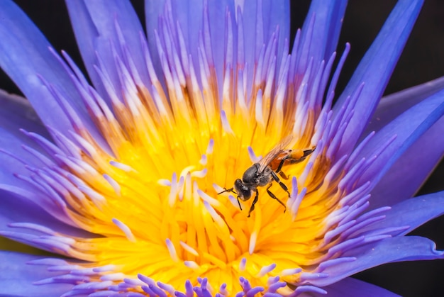 Ape sul bellissimo fiore di loto.