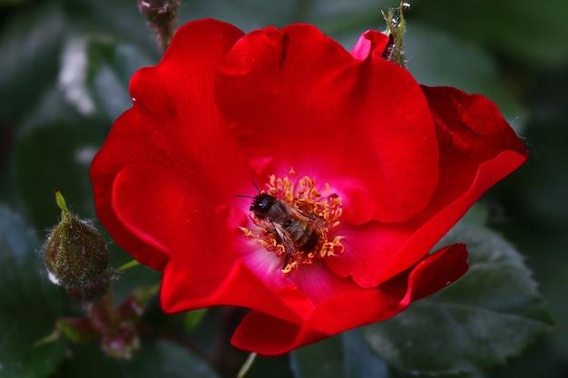 Ape su un bel fiore rosso
