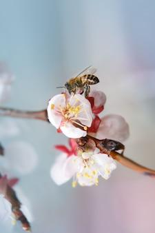 Il primo piano dell'ape raccoglie il nettare nei fiori di albicocca