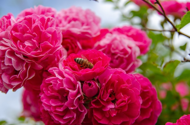 Un'ape raccoglie il nettare da un cespuglio di rose.