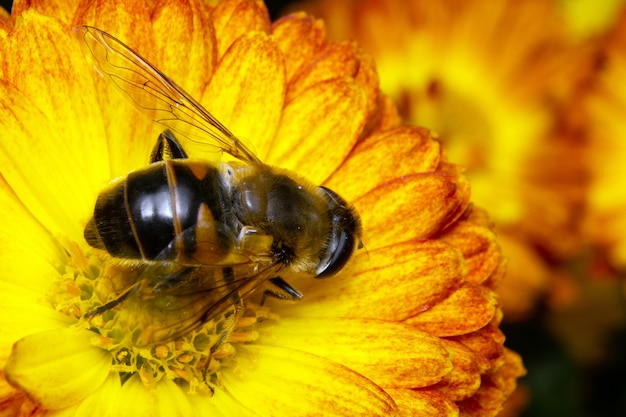 L'ape raccoglie il polline seduto su un fiore.