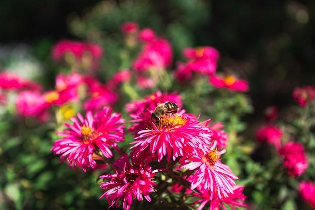 L'ape beve il nettare dei fiori autunnali