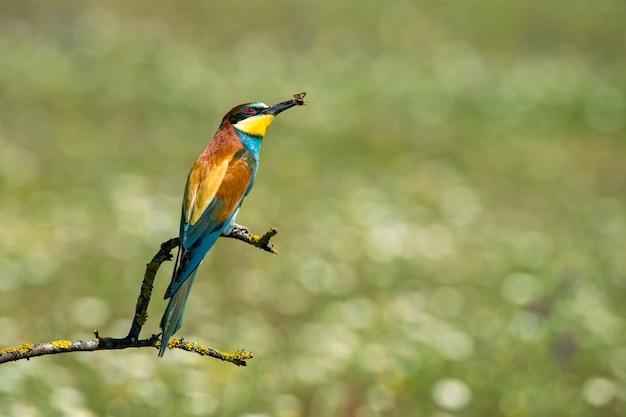Gruccione con un'ape nel becco appollaiato su un ramo