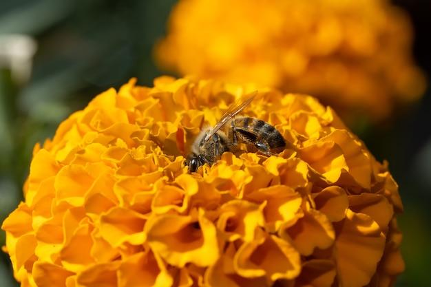 Ape che mangia sul fiore di cempaschil