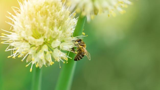 Ape e fiore. primo piano di una grande ape striata che raccoglie polline sul fiore di cipolla. sfondi estivi e primaverili