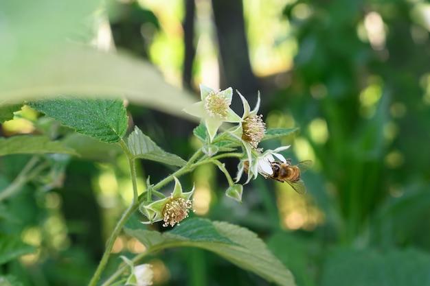 Ape e fiore. primo piano di una grande ape striata che raccoglie il polline sul fiore di lampone. sfondi estivi e primaverili