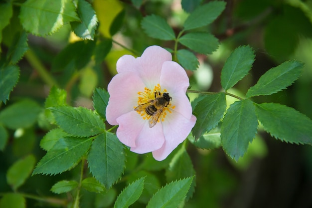 Ape su un fiore di ape rosa selvatica che impollina rosa selvatica in fiore