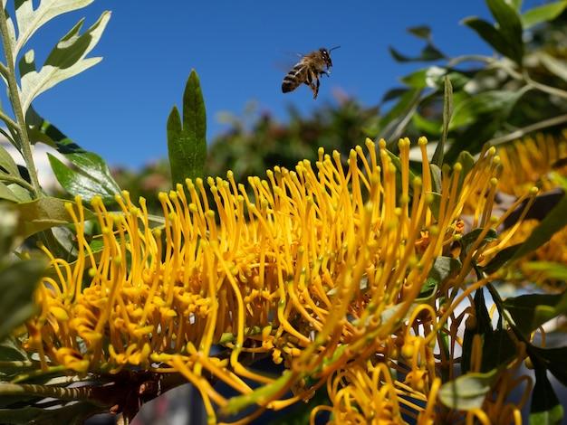 Ape che lascia un albero di mimosa (acacia dealbata) a marbella pieno di fiori gialli