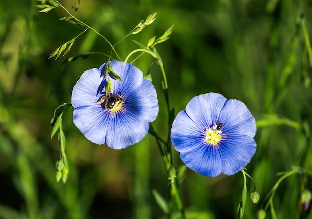 Ape e altri insetti nel lino blu brillante in fiore con tempo soleggiato nel campo.