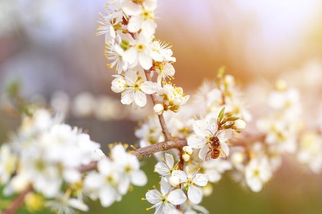 Ape su un prugne o prugne secche in piena fioritura di fiori bianchi all'inizio della primavera in natura. messa a fuoco selettiva. bagliore