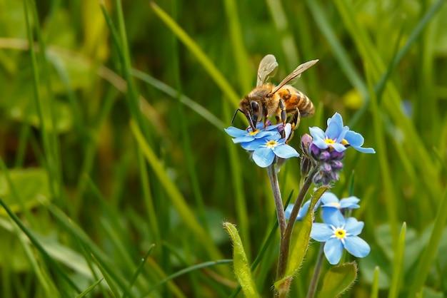 Un'ape si siede su un fiore blu e raccoglie il nettare