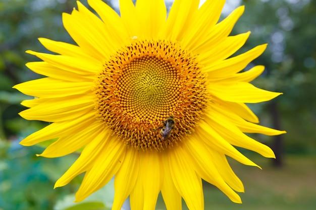 Un'ape su un girasole