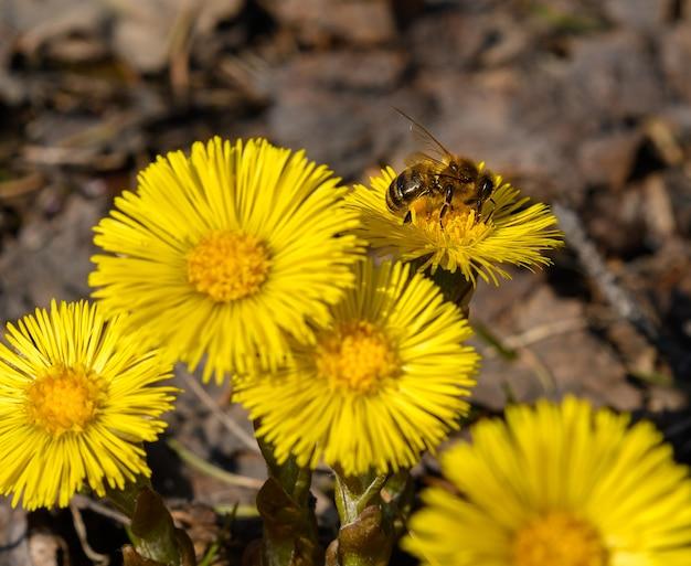 Ape sul fiore giallo di farfara in primavera tussilago farfara fuoco selettivo