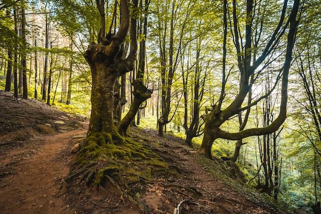 Foresta di faggi sul sentiero fino al monte adarra a urnieta, vicino a san sebastian. gipuzkoa, paesi baschi