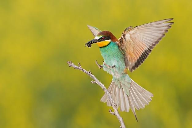 Gruccione atterra su un ramoscello con ape nel becco