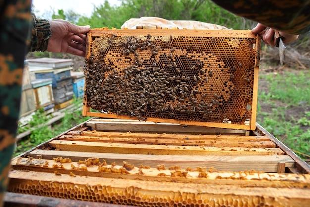 L'apicoltore controlla i telai con i favi negli alveari dell'apiario