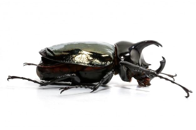 Chalcosoma caucaso dello scarabeo su fondo bianco