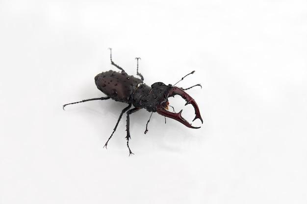 Cervo scarabeo sulle gocce d'acqua sulla superficie bianca