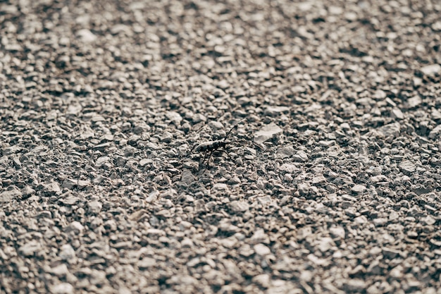 Beetle baffi cerambycidae sulla trama dell'asfalto