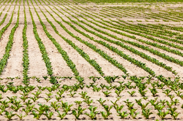 Barbabietole in campo agricolo