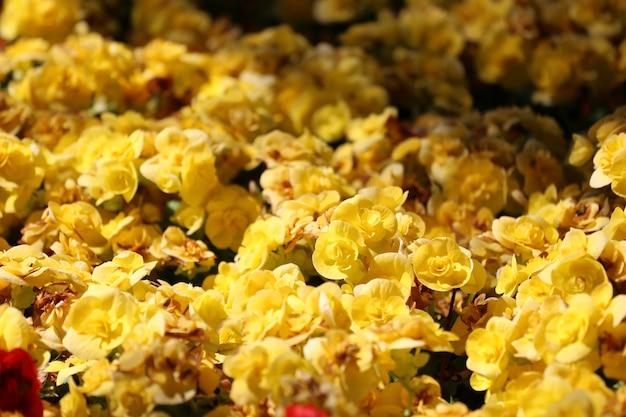 I fiori di begonia stanno sbocciando nel giardino fiorito, miniera di fiori invernali colorati.