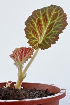 Begonia in un vaso di fiori su una superficie bianca