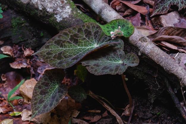Begonia fulgurata congedo colorato e nativo solo a chiangmai thailandia