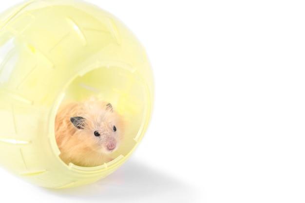 Criceto lanuginoso beige nella sfera di plastica gialla del criceto isolata su bianco