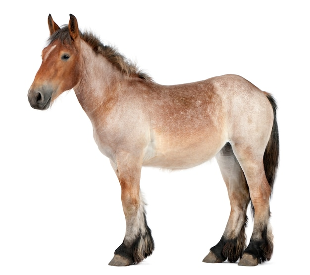 Cavallo belga, cavallo pesante belga, brabancon, una razza di cavallo da tiro, 16 anni, in piedi su bianco isolato