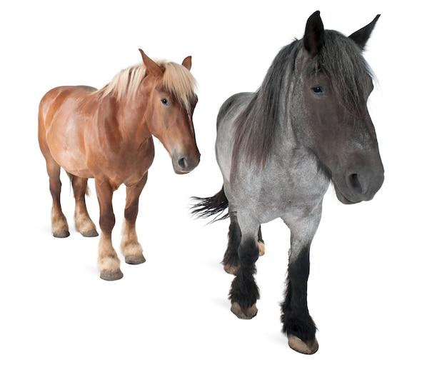 Cavallo belga, cavallo pesante belga, brabancon, una razza di cavallo da tiro, in piedi su bianco isolato
