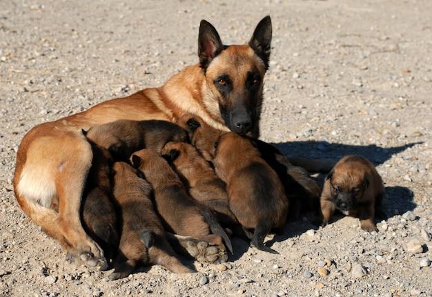 Pastore e cuccioli belgi