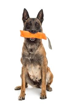 Pastore belga che si siede e che tiene giocattolo arancio nella sua bocca contro il fondo bianco