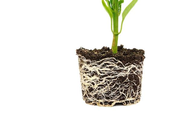 Piantina di peperone con apparato radicale ben sviluppato su sfondo bianco. radice e gambo, foglie di piantine di pepe.