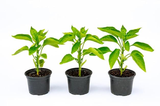 Piantine di peperone in un vaso di plastica su uno sfondo bianco