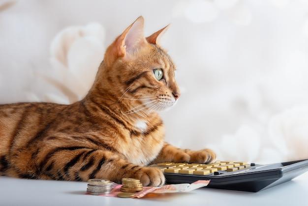 Il gatto del bengala conta su una calcolatrice, gestisce il budget familiare, paga le bollette. concetto di risparmio.