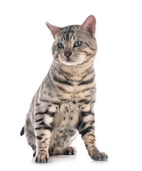 Gatto bengala isolato su bianco Foto Premium