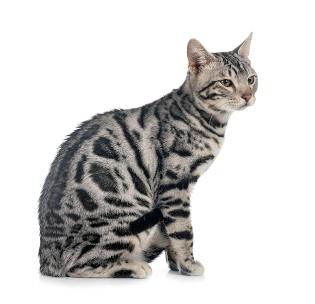 Gatto bengala isolato