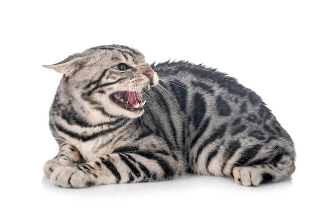 Gatto bengala isolato Foto Premium