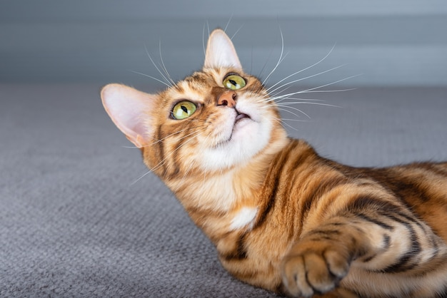 Il gatto del bengala si trova sul letto e alza lo sguardo con interesse.
