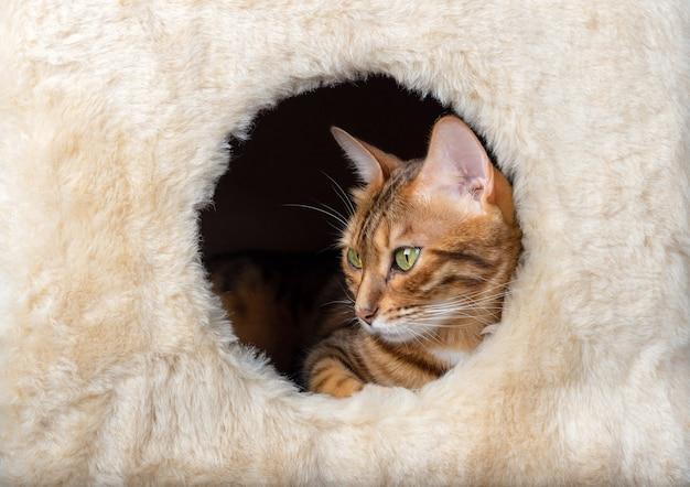 Gatto del bengala che riposa in un primo piano della casa del gatto.