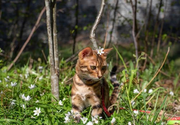 Un gatto del bengala si siede sull'erba con un fiore dietro l'orecchio