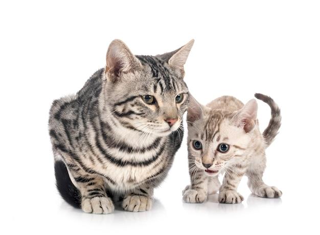 Gatti del bengala davanti a sfondo bianco