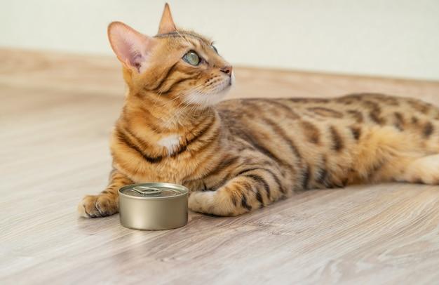 Un gatto domestico del bengala giace sul pavimento e aspetta che il suo proprietario le dia del cibo umido.