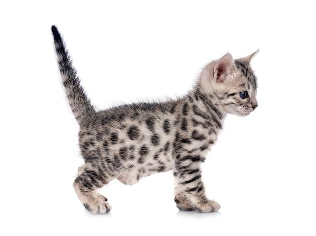 Gattino del bengala davanti a sfondo bianco